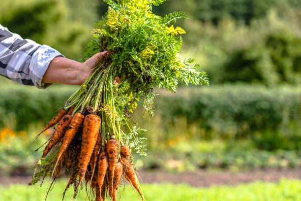 farmer holding a carrots from the soil, produce from local farming, organic vegetable fresh harvested from the garden - warzywo korzeniowe zdjęcia i obrazy z banku zdjęć