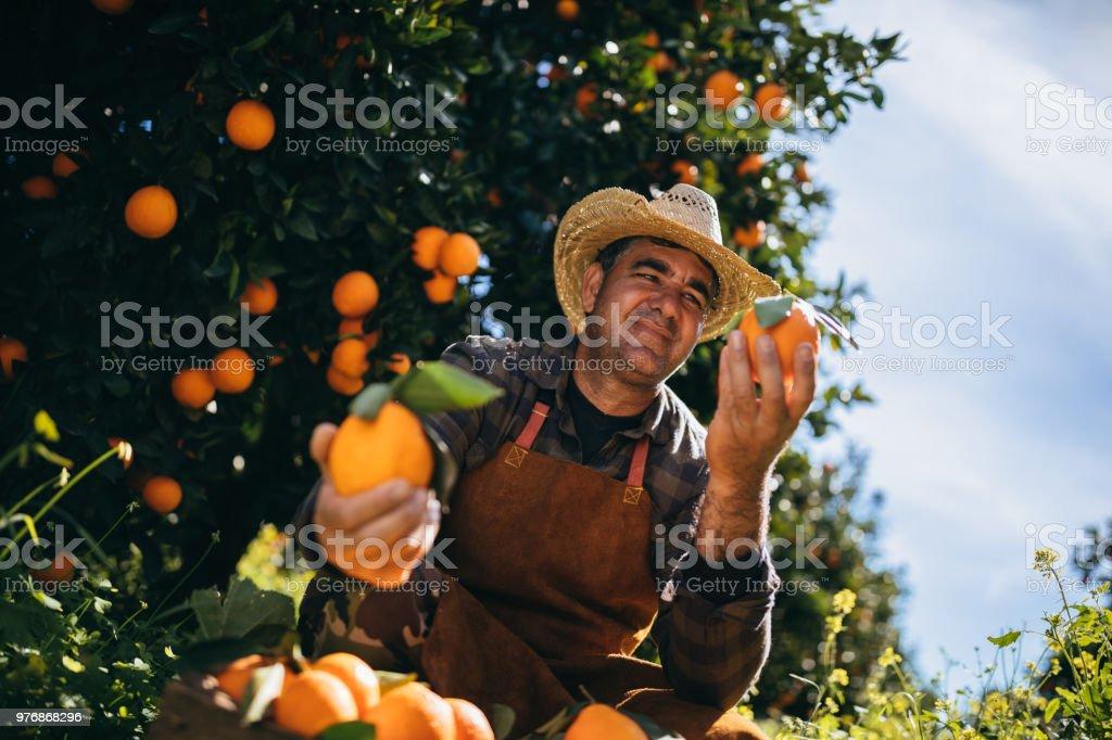 Agriculteur détenant et en regardant des oranges mûres dans Orangeraie photo libre de droits