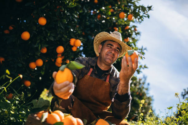 Farmer holding and looking at ripe oranges in orange grove Farmer holding fresh oranges and checking them for illness and growth in orange trees orchard wundervisuals stock pictures, royalty-free photos & images