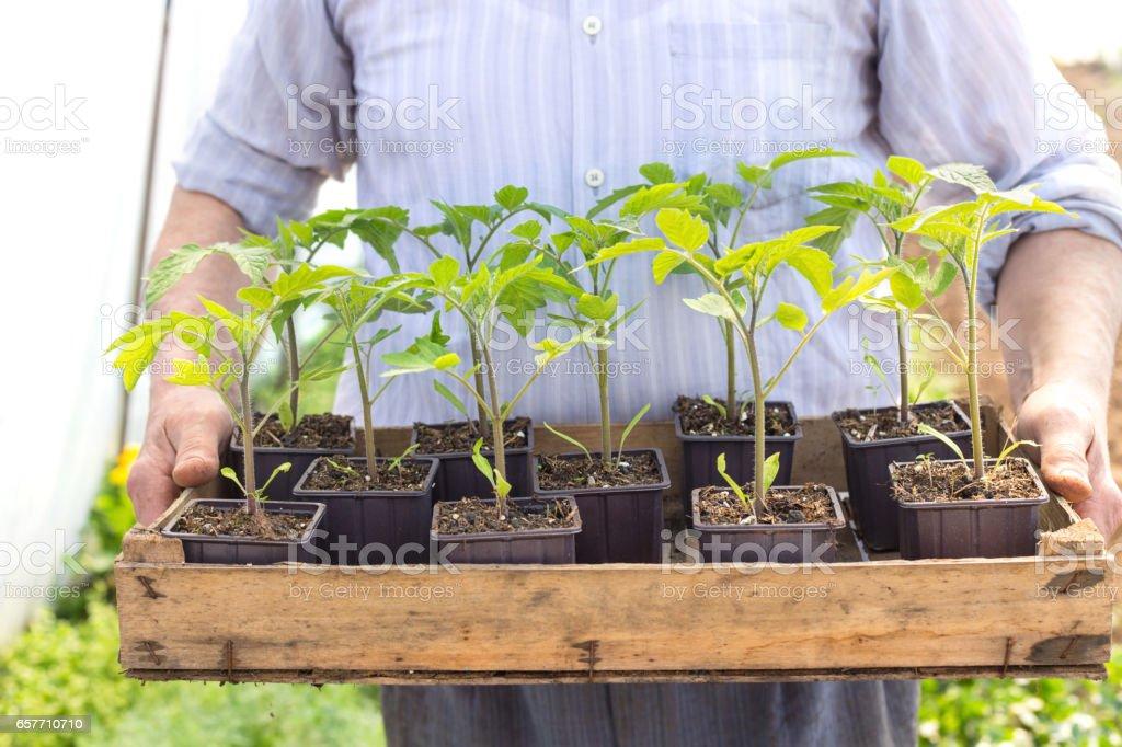 Farmer holding box with tomato plants stock photo