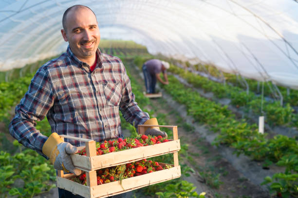 Farmer holding crate full of strawberries in strawberry field greenhouse. Farmer holding strawberries in greenhouse. strawberry field stock pictures, royalty-free photos & images