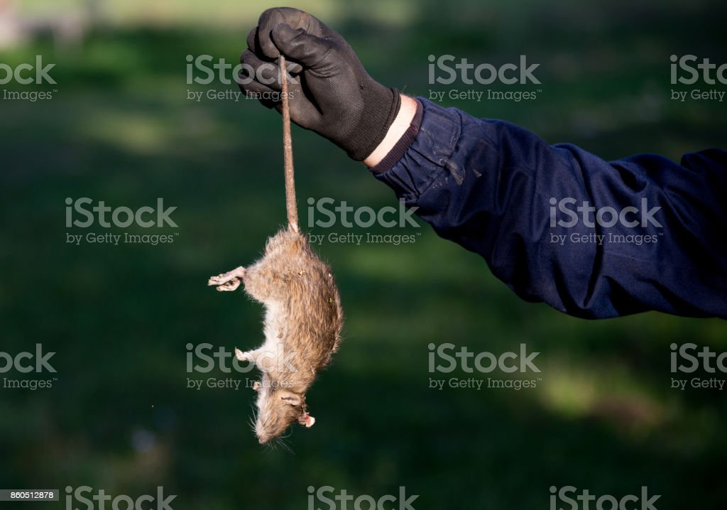Farmer holding dead rat stock photo