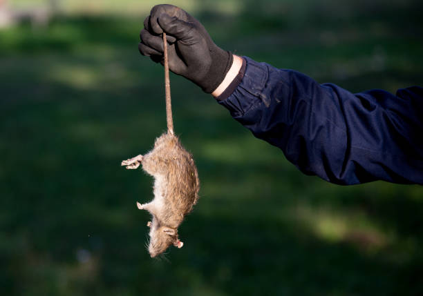 Farmer holding dead rat Farmer with protective gloves holding dead rat for tail on farm. Rodenticide concept in agriculture rodent stock pictures, royalty-free photos & images