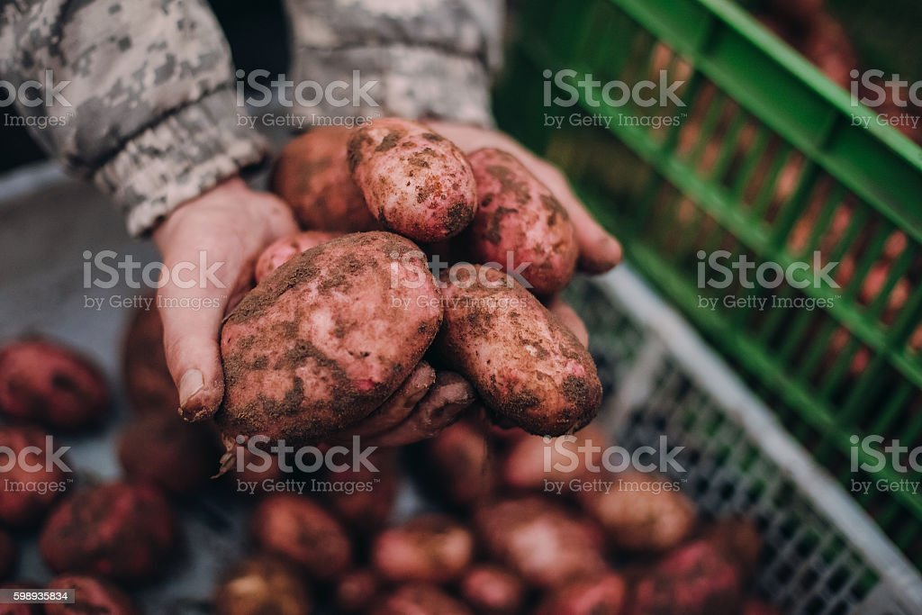 Farmer holding fresh potatoes in dirty rough hands. Soilwork concept stock photo
