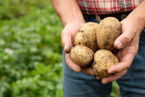Farmer holding fresh raw potato stock photo