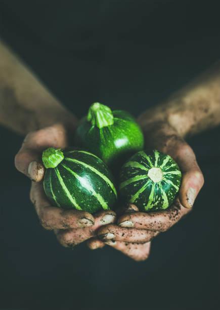 landwirt frische saisonale grüne runde zucchini in den händen halten - hofladen stock-fotos und bilder