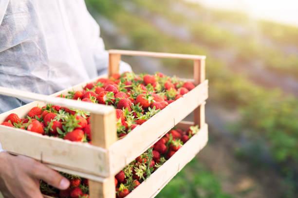 farmer holding freshly harvested ripe strawberries in strawberry farm field. - picking fruit imagens e fotografias de stock