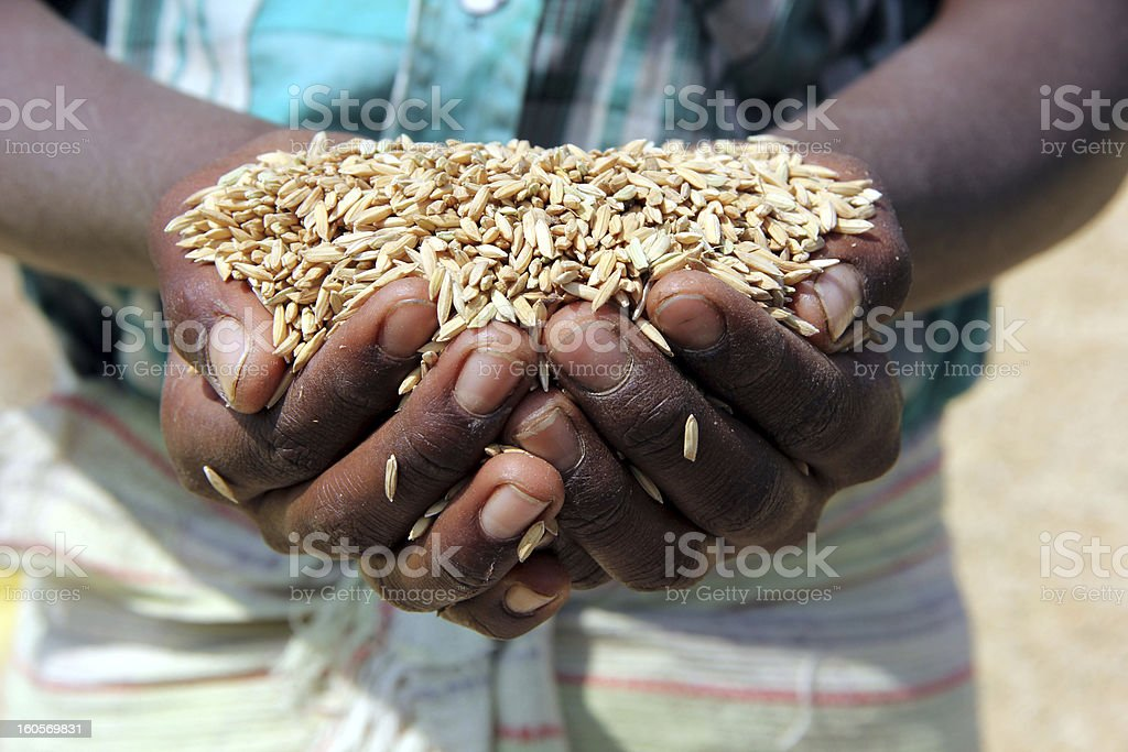 Farmer holding grain royalty-free stock photo