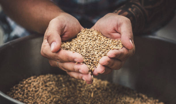 farmer holding grains - barley stock pictures, royalty-free photos & images