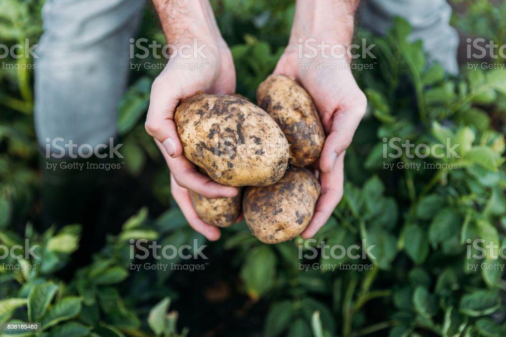 farmer holding potatoes in field stock photo