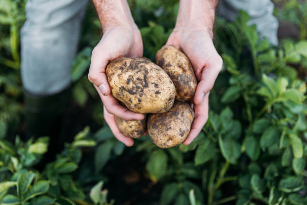 farmer holding potatoes in field stock photo