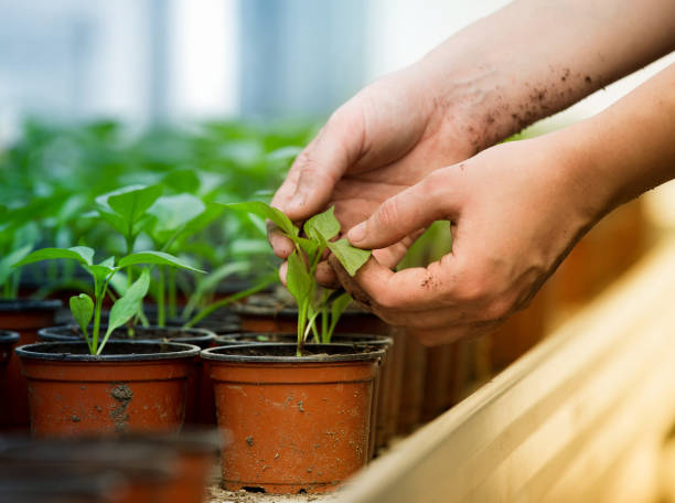 farmer holding sprout in greenhouse - теплица стоковые фото и изображения