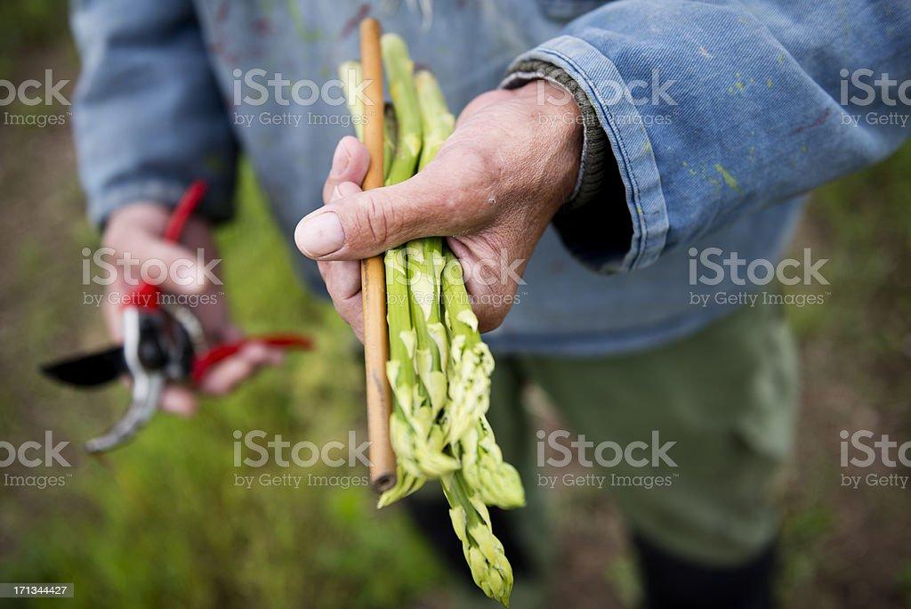 Farmer retención Stalks de recién probar espárragos - foto de stock