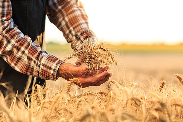 Farmer holding whole wheat crops Close up of mature farmer hands holding whole wheat crops. Wears shirt and union suit. On background sunbeam and gold colored field. Focus on foreground. oat crop stock pictures, royalty-free photos & images