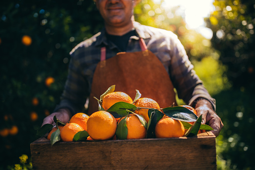 Farmer holding wooden box with fresh oranges in orchard
