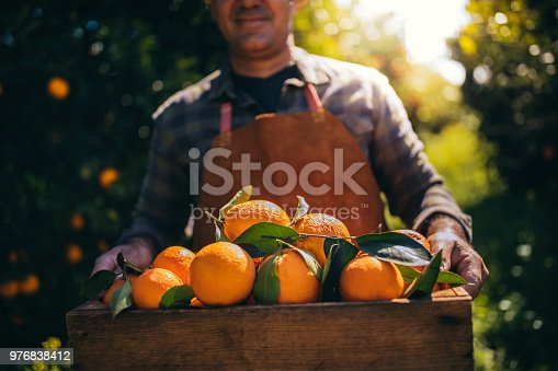 Close-up of farmer holding wooden basket with heap of fresh ripe oranges from field harvest