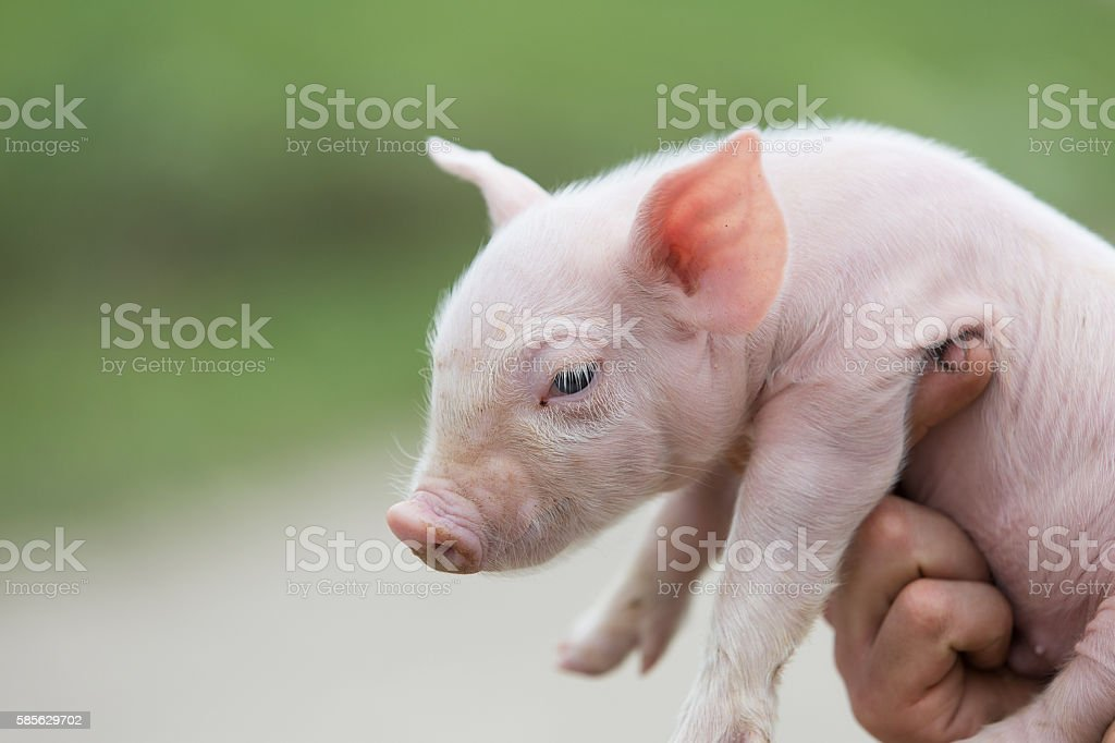 farmer holding young pig stock photo