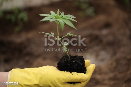 farmer yellow gloves holds a cannabis sprout before planting