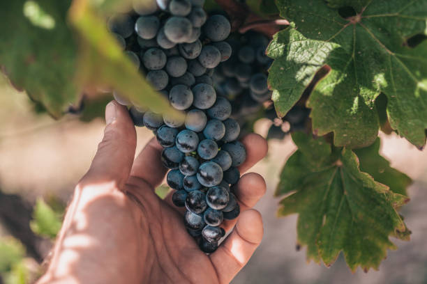 a farmer holds a large, heavy bunch of grapes in the vineyards of provence - the grape industry in france - grapes imagens e fotografias de stock