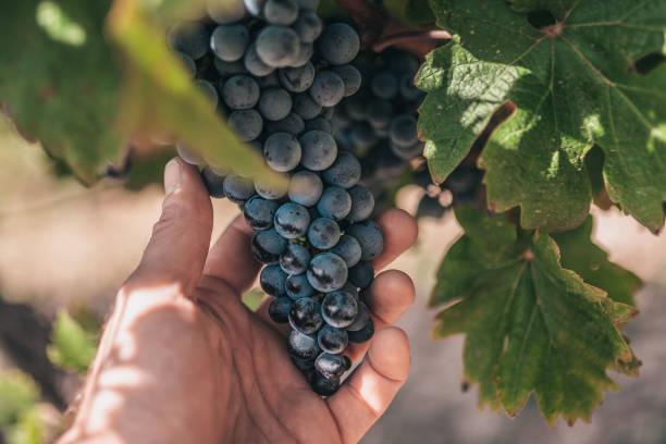 en jordbrukare håller en stor, tung massa druvor i vingårdarna i provence - druva industrin i frankrike - vineyard bildbanksfoton och bilder
