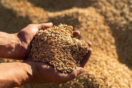 Farmer holds barley grain in his hands.