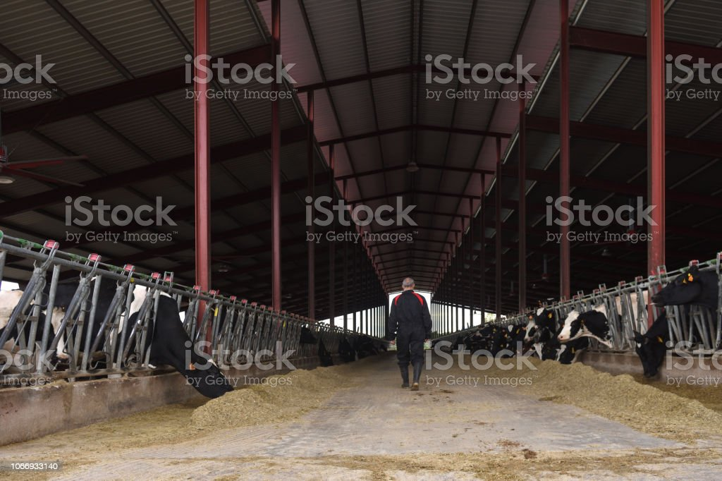 farmer in a cow farm stock photo