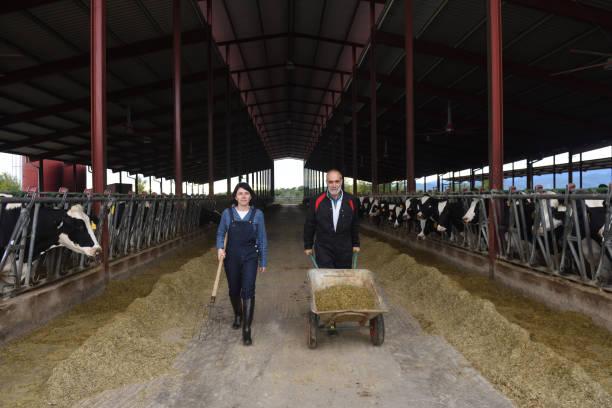 farmer in a cow farm - allevatore foto e immagini stock