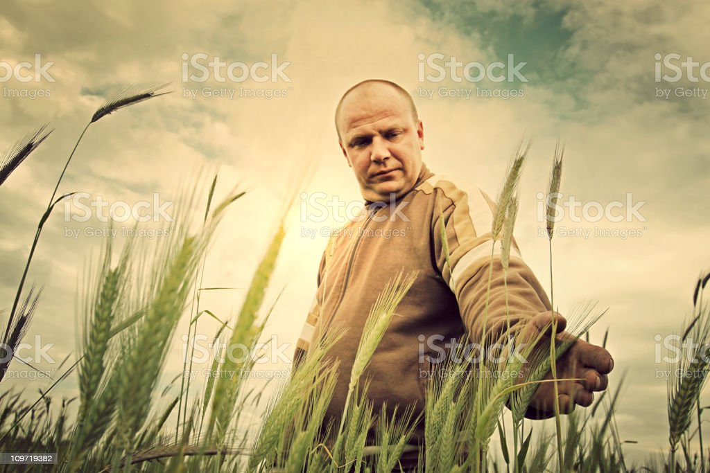Farmer in a field of ripening grain royalty-free stock photo