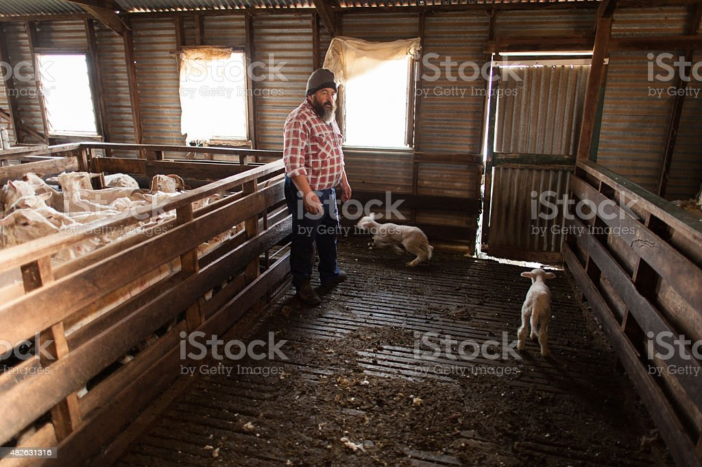 Farmer in a Shearing Shed stock photo