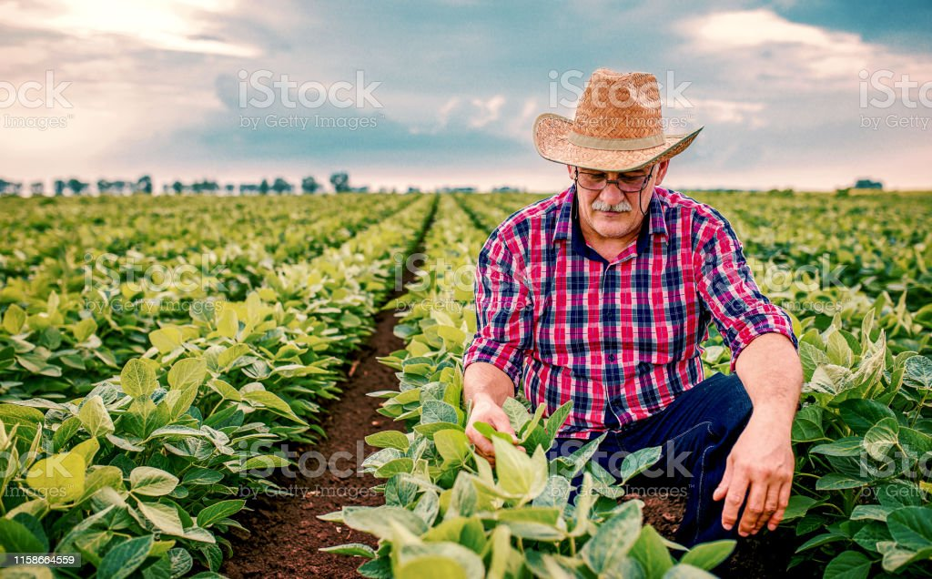 Farmer in a soybean field. Agricultural concept Farmer checking crop in a soybean field . Agricultural concept Adult Stock Photo