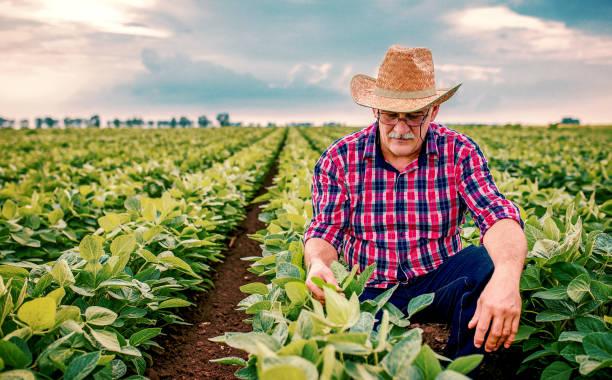 콩 밭에서 농부. 농업 개념 - 농업 뉴스 사진 이미지