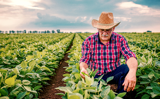 Farmer In A Soybean Field Agricultural Concept Stock Photo - Download Image Now