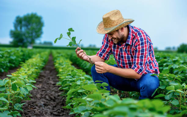 Farmer in a soybean field. Agricultural concept stock photo