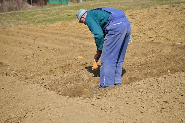 A farmer in an agricultural field bends down and plants seeds in the spring stock photo