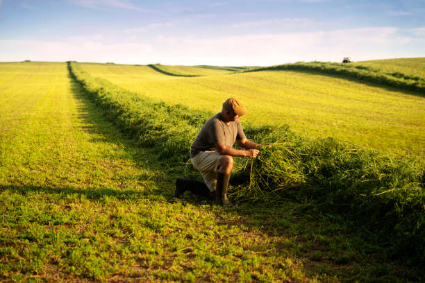 A farmer in an alfalfa field at harvest checking the crop. stock photo