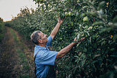A farmer in an apple orchard