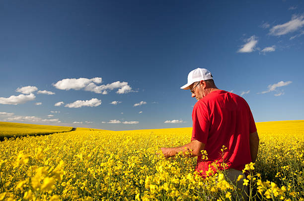 Farmer in Canola A farmer checking out his canola crop. canola stock pictures, royalty-free photos & images