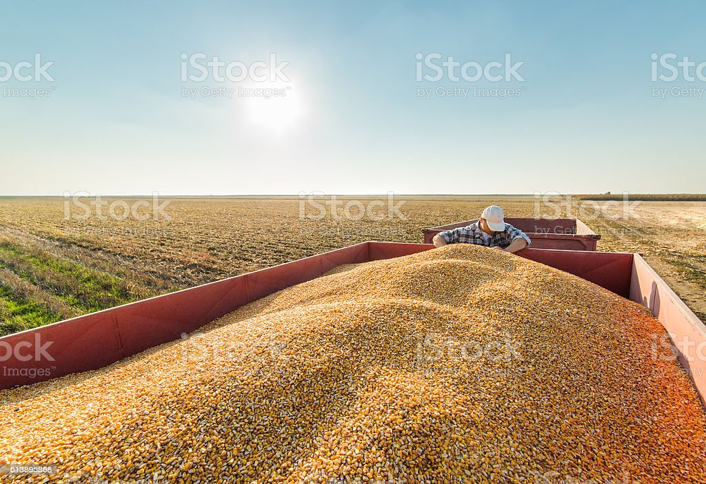 farmer in corn fields stock photo