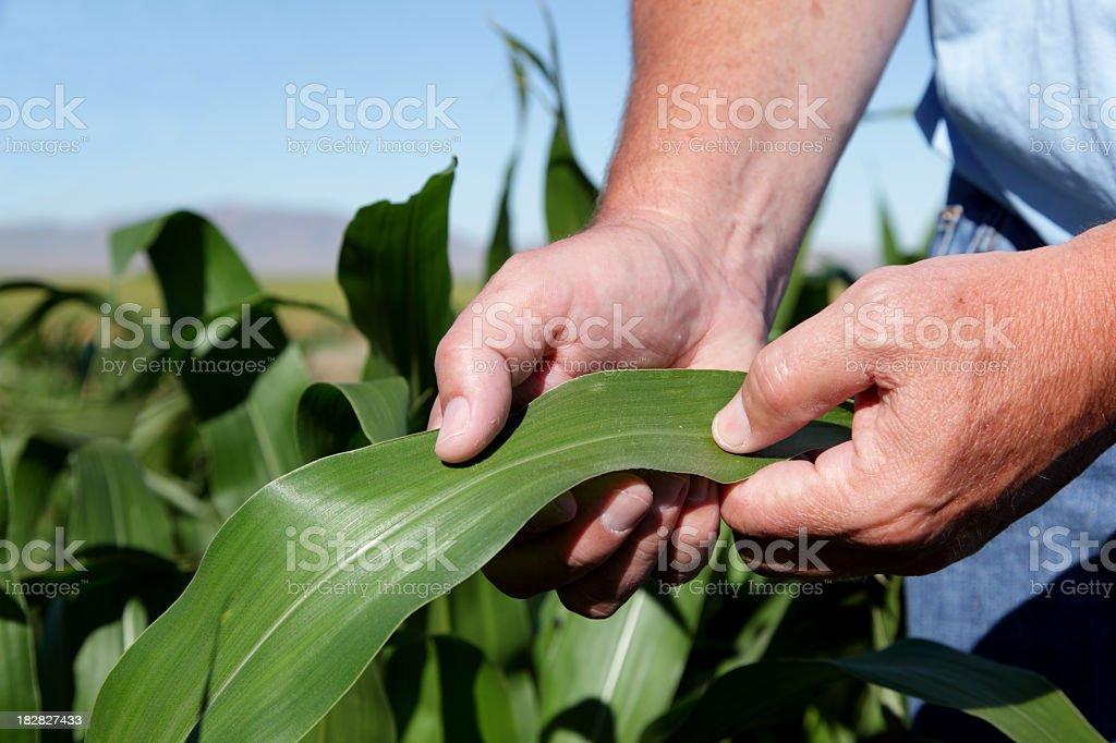Farmer In Field Checking Corn royalty-free stock photo