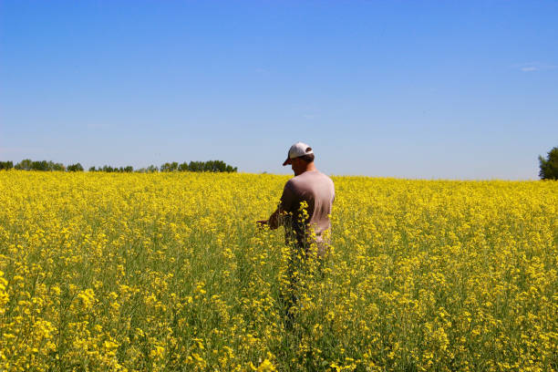 Farmer in Field A farmer is checking his crop canola stock pictures, royalty-free photos & images
