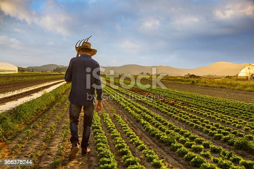 Male farmer walking through cultivated vegetable field.
