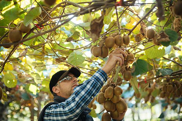 Farmer in Kiwi Frucht-Plantage – Foto