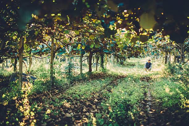 agricoltore nella piantagione di frutta kiwi - frutto kiwi foto e immagini stock