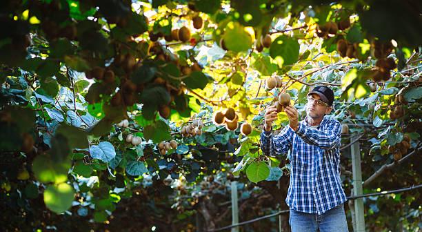 Farmer in Kiwi plantation, die Obst – Foto