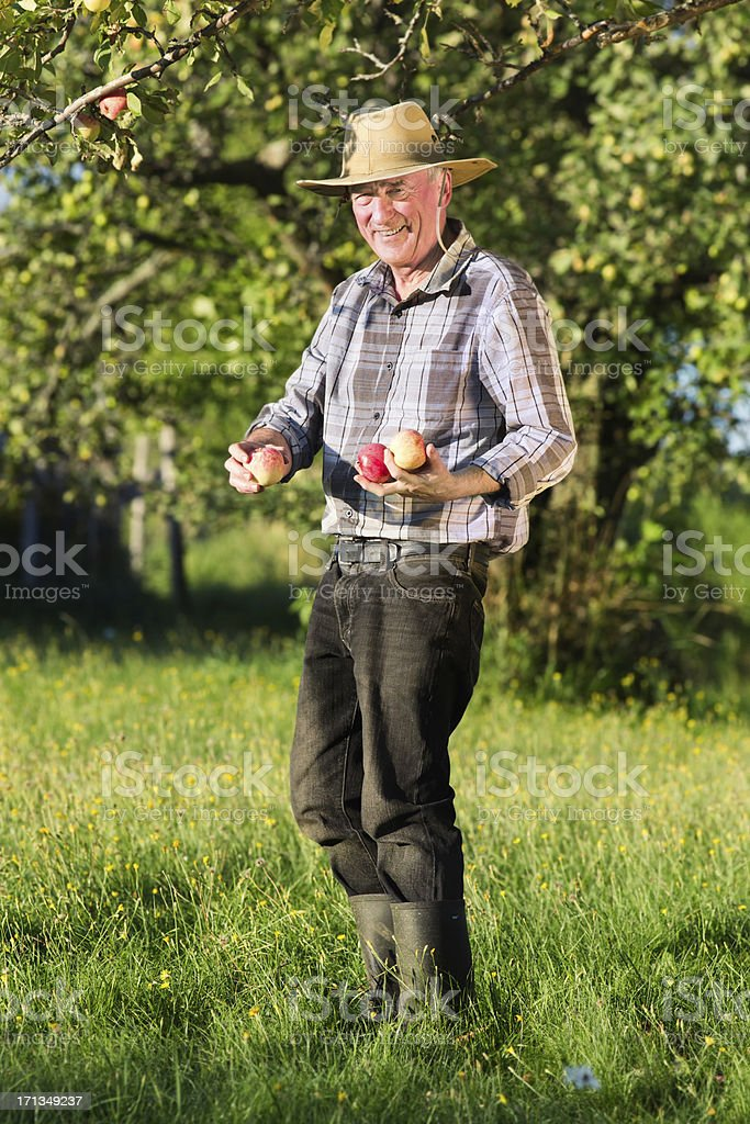 Farmer in orchard picking apples royalty-free stock photo