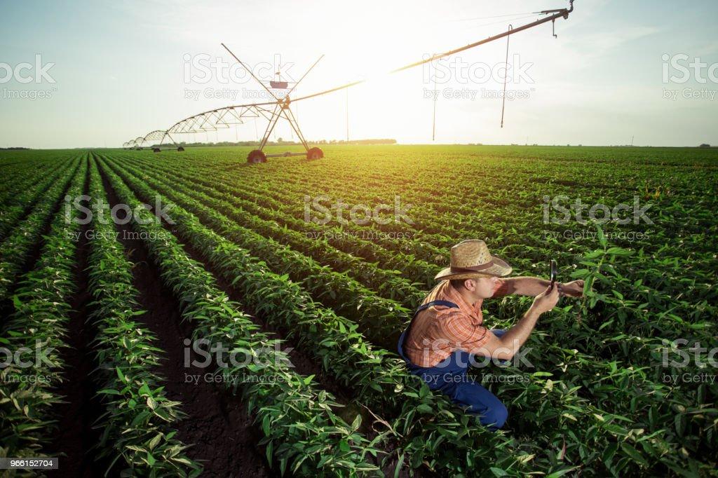 Farmer in pepper fields - Royalty-free Adult Stock Photo