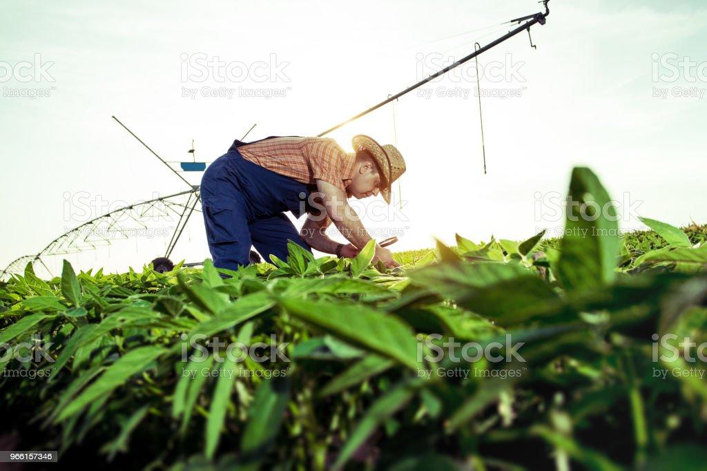 Farmer in pepper fields - Royalty-free Adulto Foto de stock
