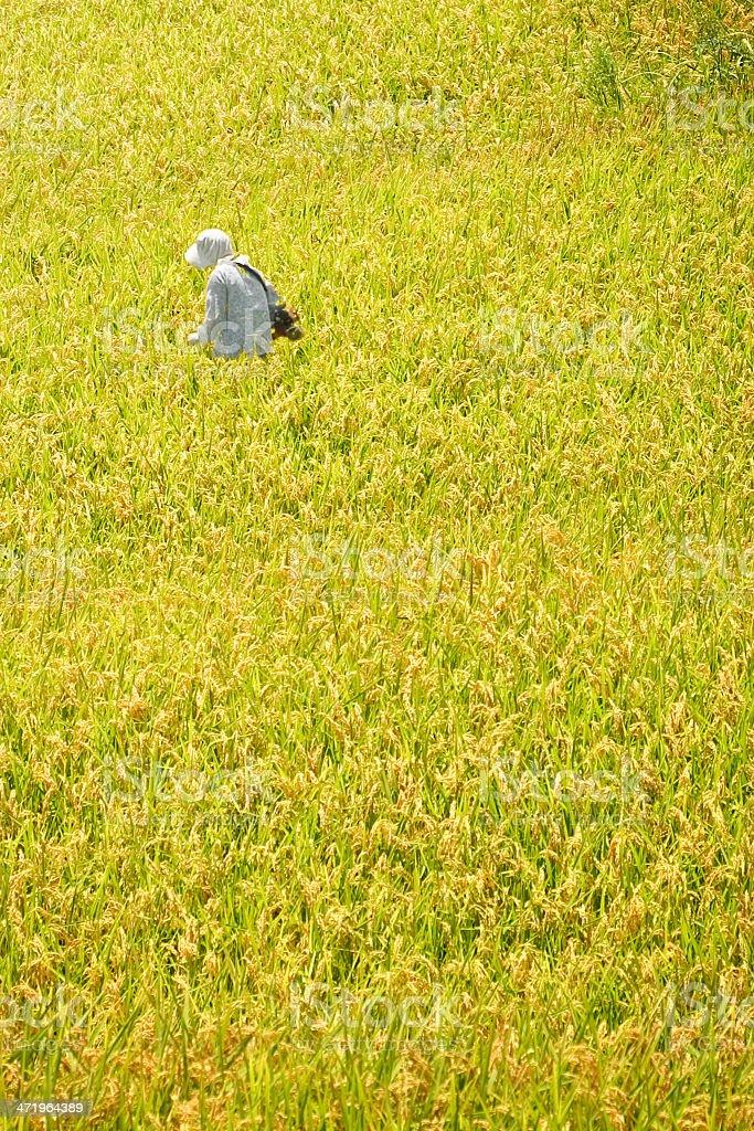 farmer in rice paddy,Japan stock photo