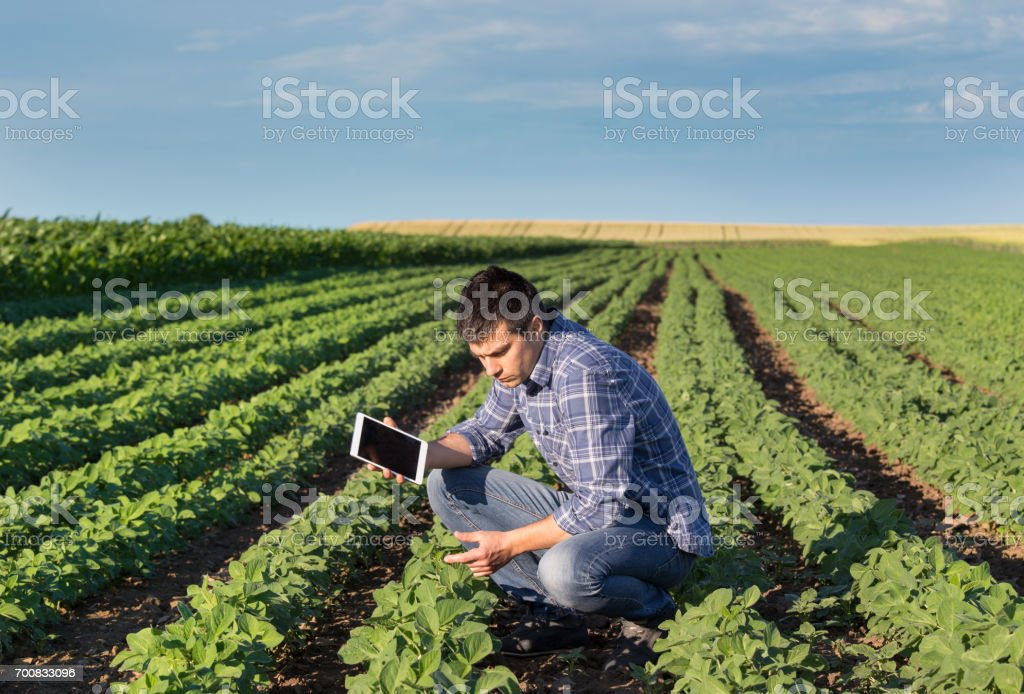 Farmer in soybean field with tablet stock photo