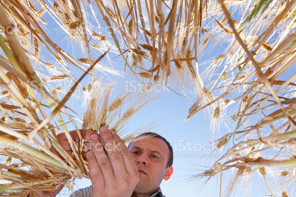 Farmer in the Barley field royalty-free stock photo
